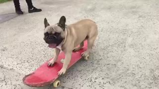 French Bulldog shows off serious skateboarding skills - Video