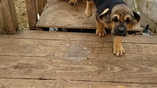 Parade of Bloodhound Puppies