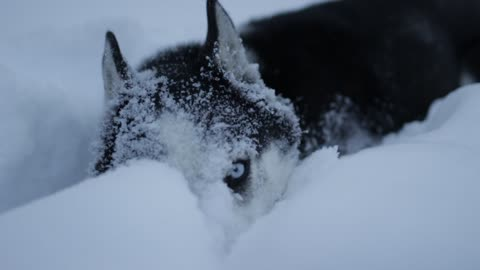 Husky puppy takes a nap in the deep snow