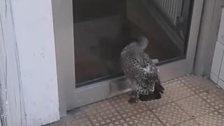 Baby seagull walking into a door - Video