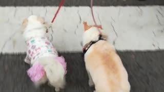 White dogs walking across crosswalk