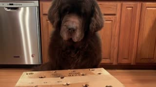 Newfoundland plays whack-a-mole with tasty treat