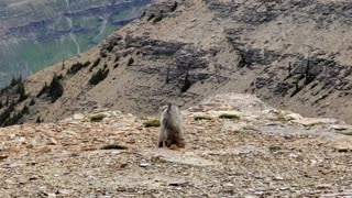 Two Marmots Tangle on Mountain Top