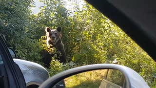Bears Scared Away From Stealing Roadside Lunch