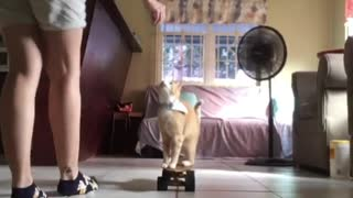 Athletically talented kitty shows off cool skateboarding skills