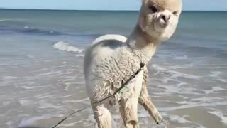 Alpaca Plays at the Beach