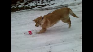 Golden Retriever adorably plays in the snow - Video