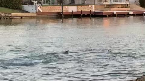 Louis the Doggo Wants to Play with the Pod of Dolphins