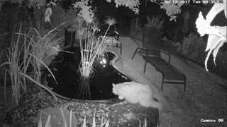 Fish startles cat drinking from backyard pond - Video