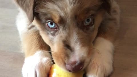 Cute little puppy eats an apple for the very first time