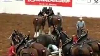 Experienced Budweiser Clydesdale Horses Accident - Video
