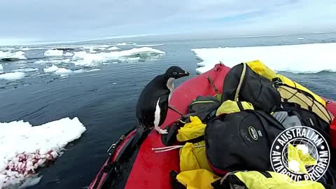 Penguin casually jumps into research boat in Antarctica