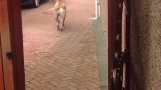 "Awesome dog ""Millie"" helps carry the shopping from car - Video"