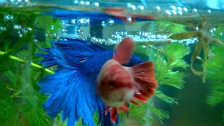 Betta fish Mating  - Video