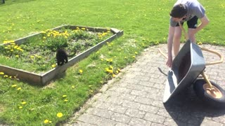 Funny cat rides wheelbarrel - Video