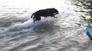 Black dog run jumps in  shallow lake water - Video