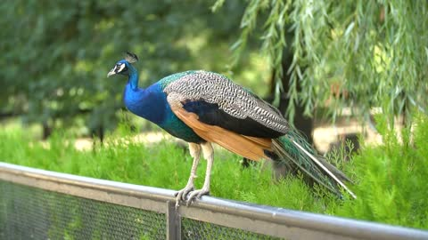 Peacock standing on a fence