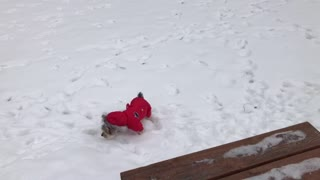 Adorable dog in snowsuit enjoys the snow