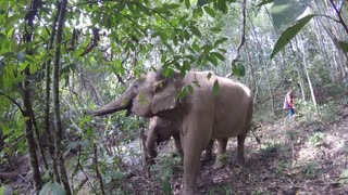 Walking with an Asian Elephant in a jungle in Thailand