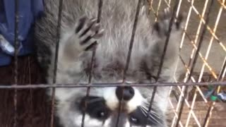 Raccoon lays on his back in cage in truck - Video