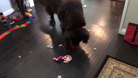 Newfoundland destroys Christmas gift in under 2 minutes