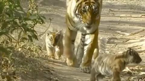 tiger and its cubs