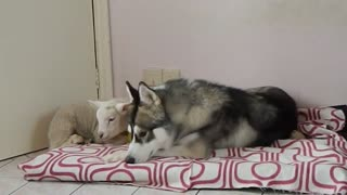 A Husky falls in love with a Lamb - Video