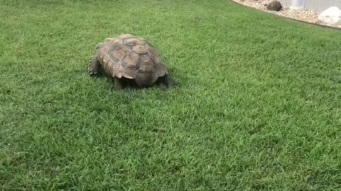 Tortoise Chases Lawnmower