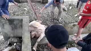 White Buffalo Rescue - Video