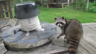 Sneaky raccoon gives one last menacing stare before Winter 2014 - Video