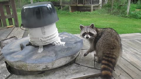 Sneaky raccoon gives one last menacing stare before Winter 2014
