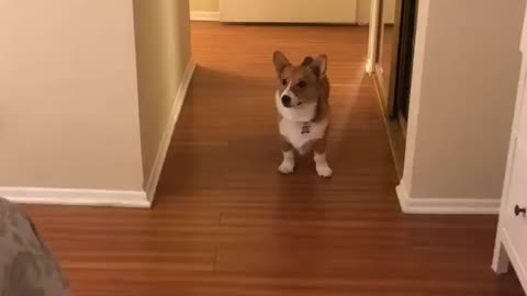 Corgi don't want any of this