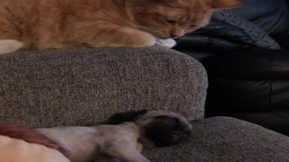 Affectionate Kitty Reaches for Sleeping Puppy