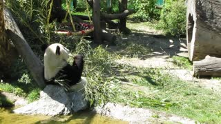 Funny Panda making a show at Viena Zoo  - Video