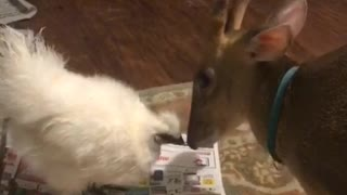 Deer licking chicken  - Video