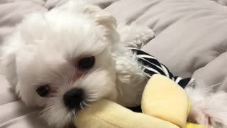 The Sweetest Pupper - Video