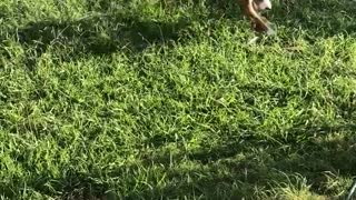 Brown pit dog jumps and spins on green grass - Video