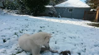 White husky dog plays with black toy in snow