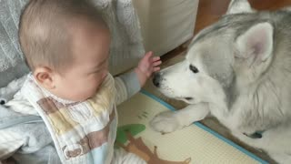 Husky preciously watches over sweet baby boy