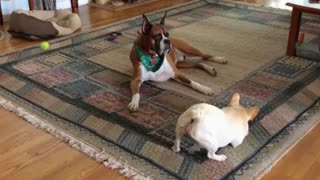 French bulldog tries to cheer up boxer buddy - Video