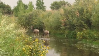 Deer wading in cherry creek in parker colorado