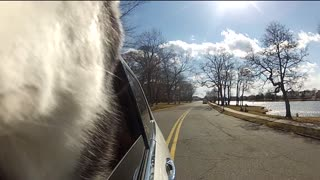 Mishka the Talking Husky goes for a car ride