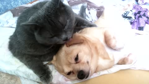 A cat love to lick your dog!