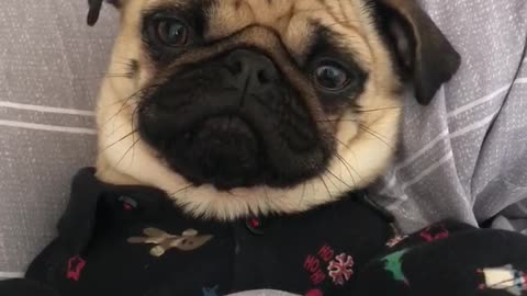Just a pug in pajamas eating a snack in bed