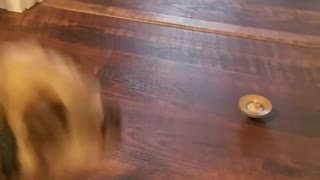 Brown dog barking at wooden top spinning