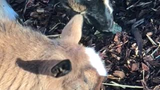 Munching Goats  - Video