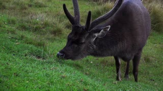 Amazing captures of Elk eating grass in beautiful background, high-quality 4k/30fps  - Video
