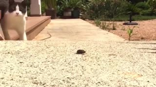 Two cats playing with black beetle bug - Video