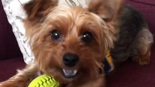 Small brown dog with yellow football charges camera