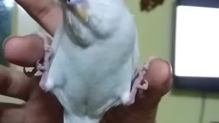 Parrot preciously sleeps between owner's fingers